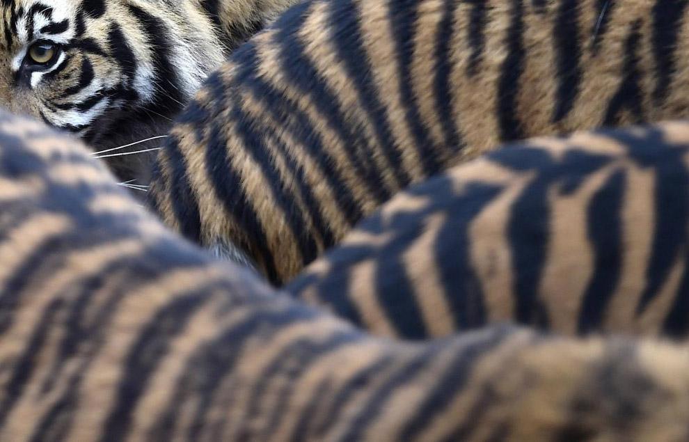 Суматранские тигры в Лондонском зоопарке