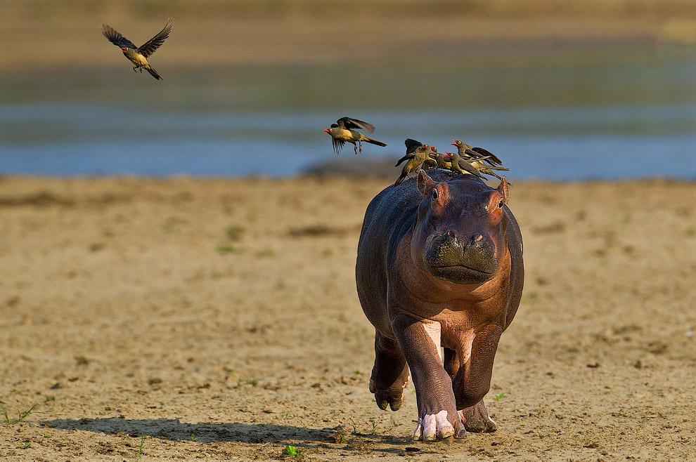 Бегемот и птицы