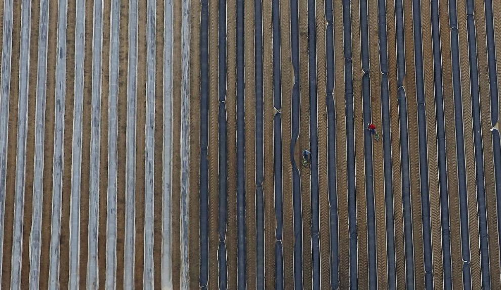 Сборка урожая спаржи в Германии