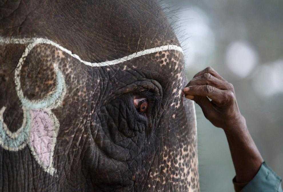 Слонов разрисовывают мелом