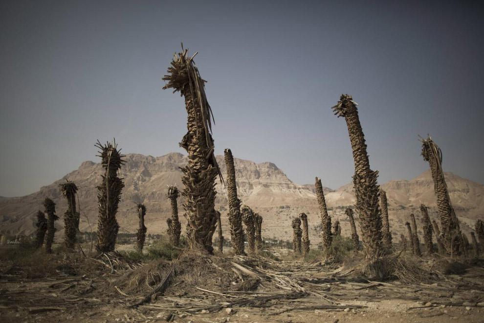 Мертвые пальмы на побережье Мертвого моря