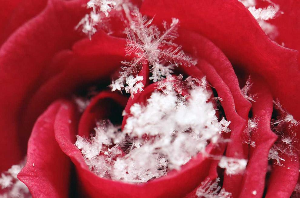 Роза в зимней Вене