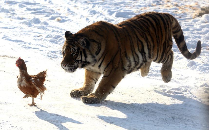 Амурский тигр в погоне за курицей в зоопарке в Харбине, Китай