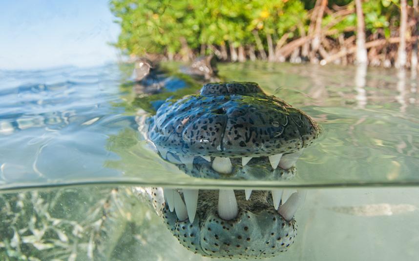 Снимок крокодила на Кубе