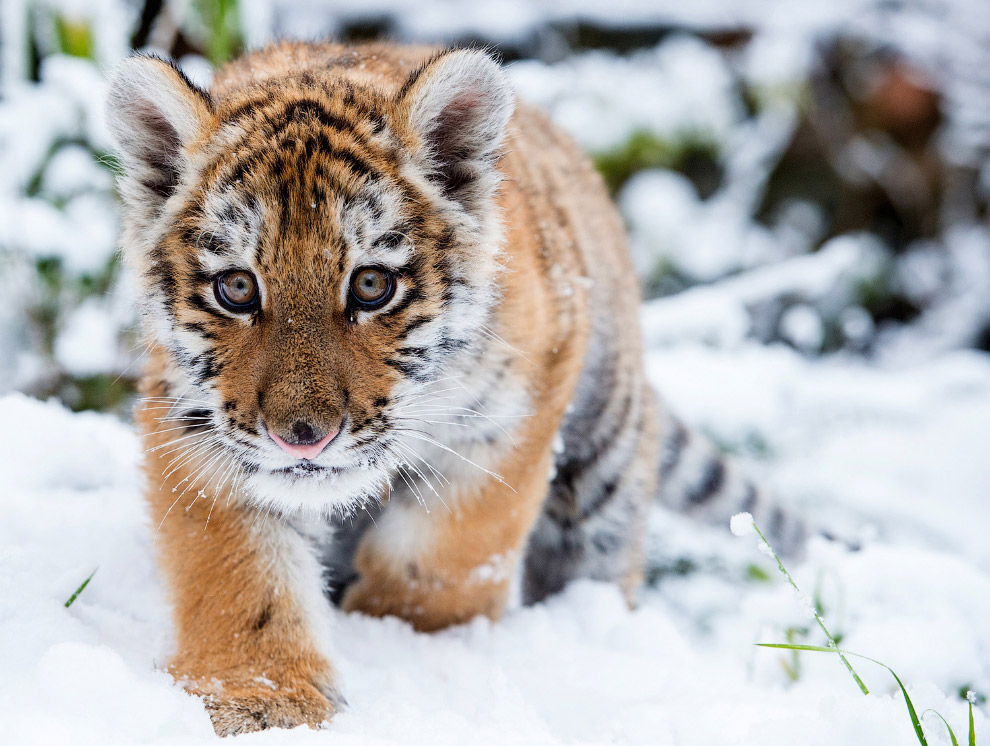 Маленький уссурийский тигр в зоопарке в Эберсвальде, Германия