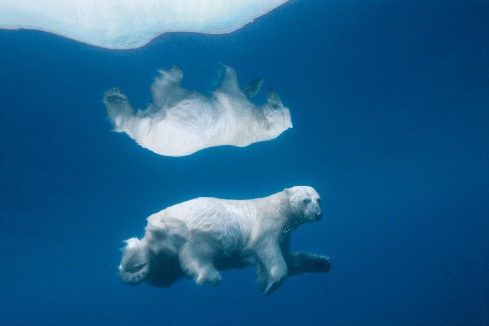 Білий ведмідь у воді