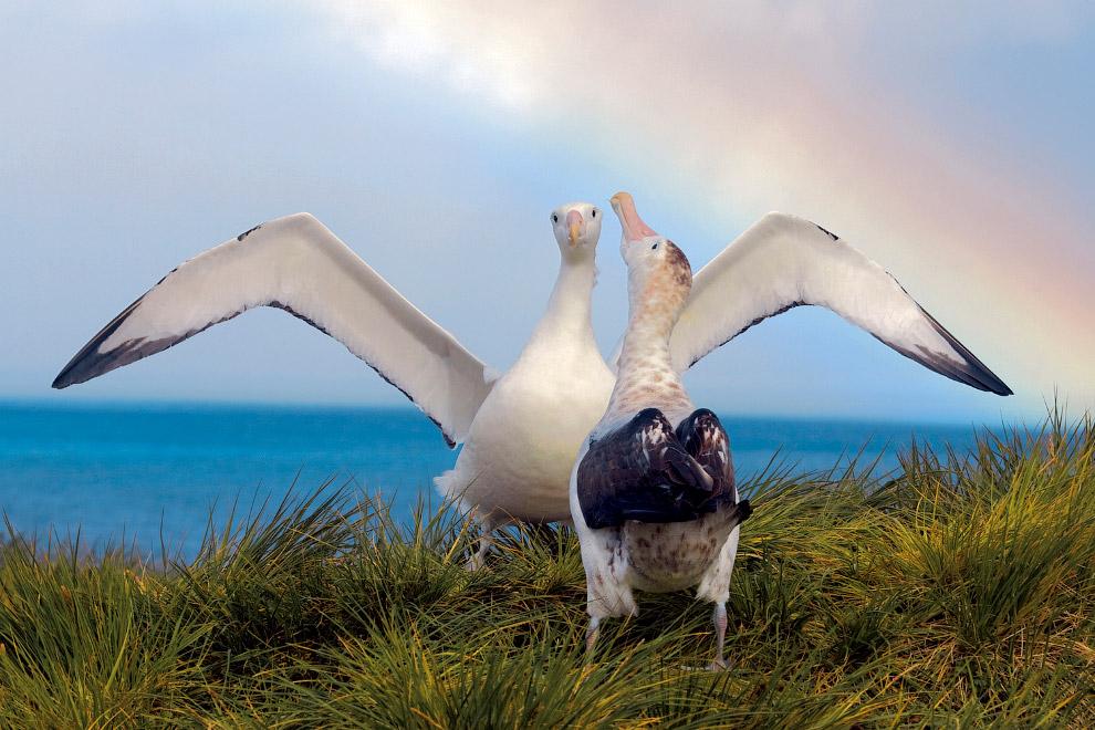 мандрівні альбатроси