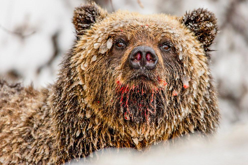 Ведмідь в бурульки