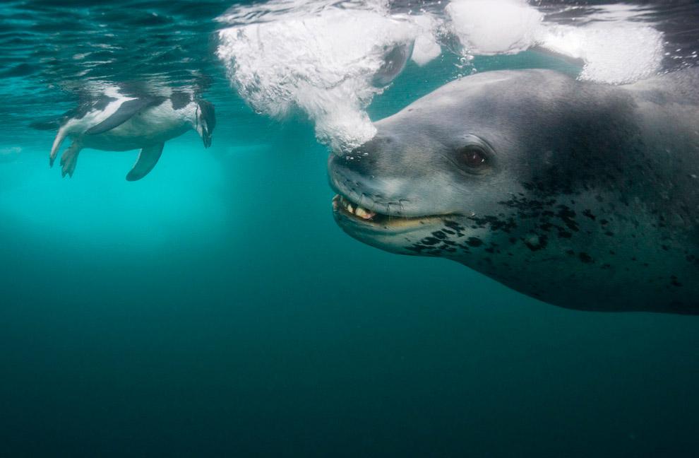 Морський леопард полює на пінгвіна