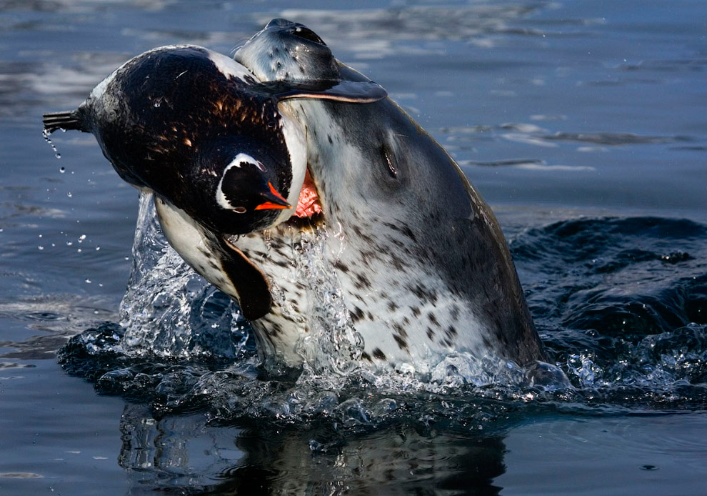 Морський леопард зловив пінгвіна