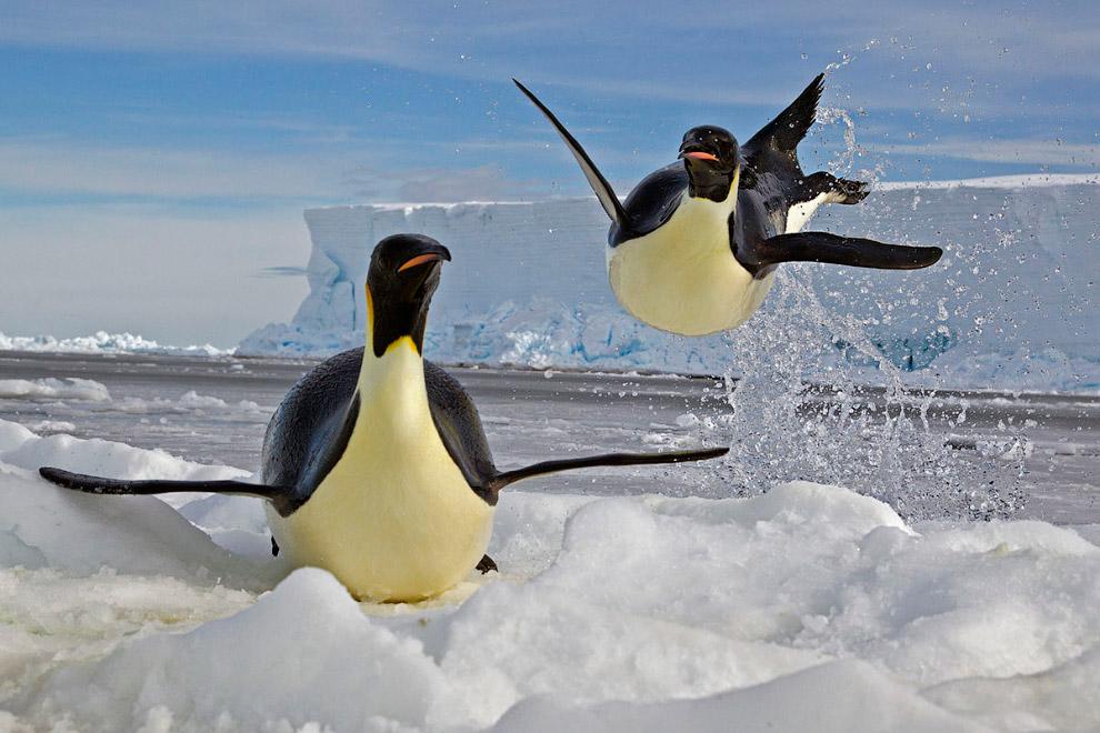 Пінгвін вистрибує з води на крижину