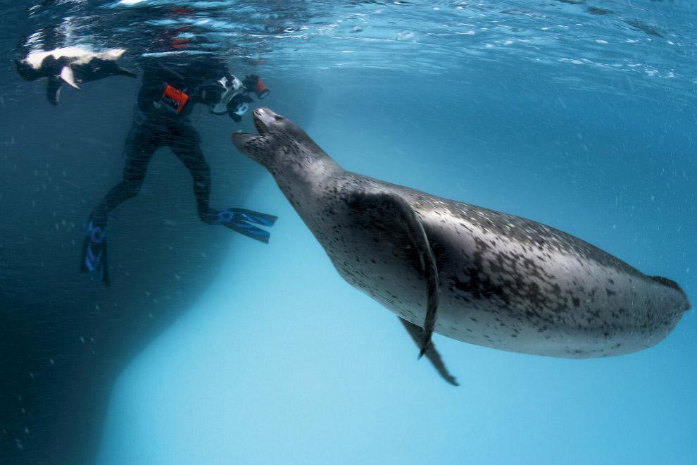 Морський леопард на полюванні