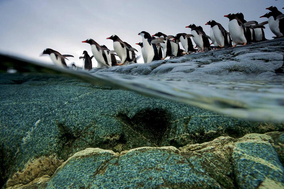 Пингвинья чергу на вхід в воду