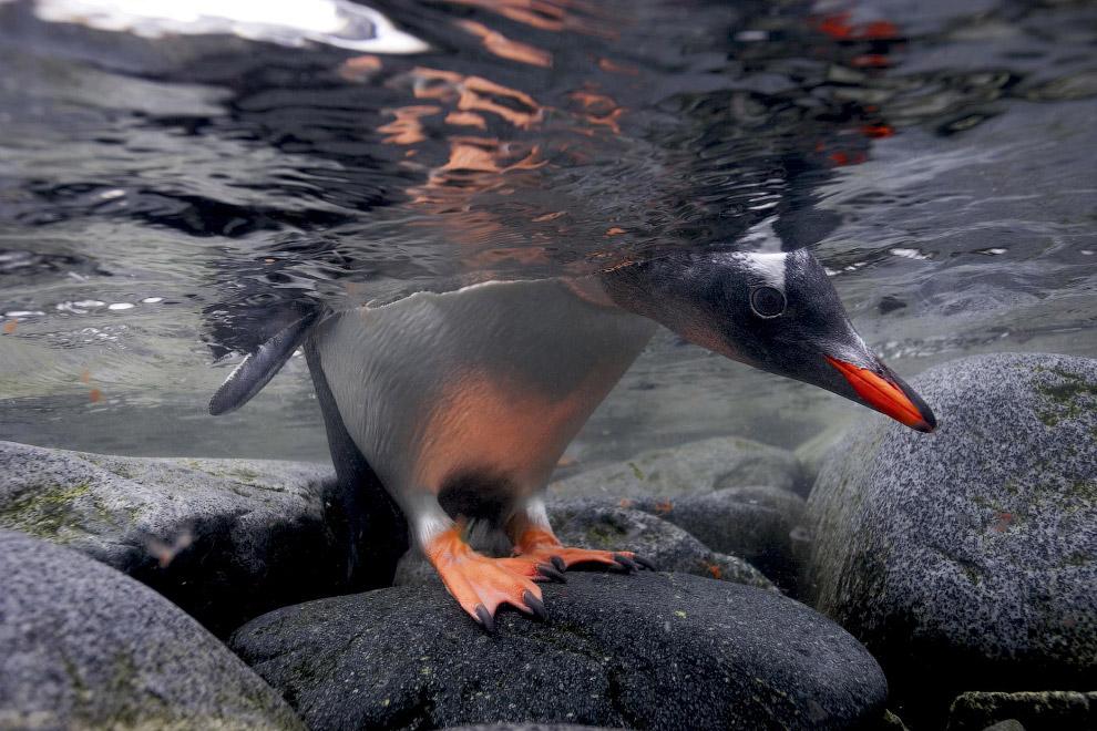 Пташеня папуанского пінгвіна заглядає в воду