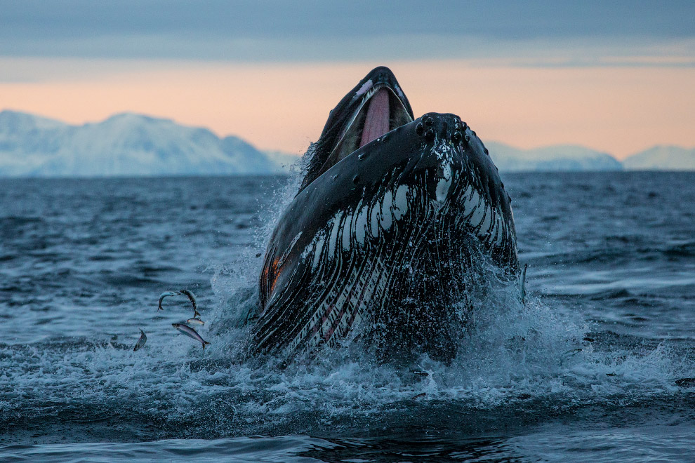Горбатый кит в Норвегии