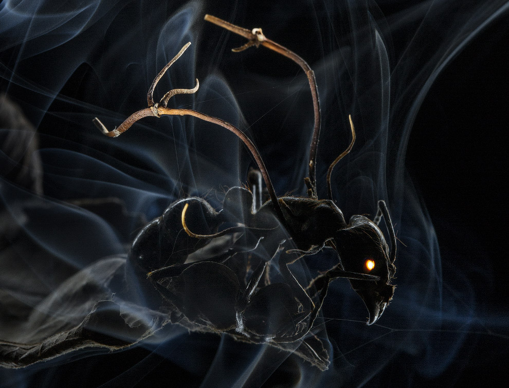 муравей, зараженный спорами грибка-паразита