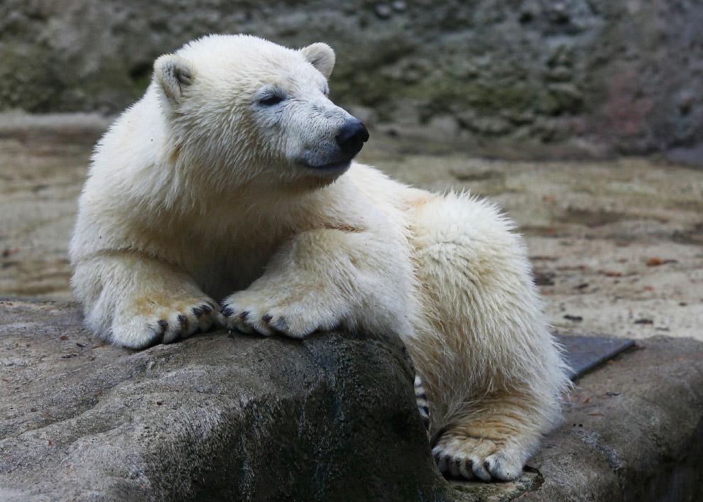 Белый медведь в мюнхенском зоопарке