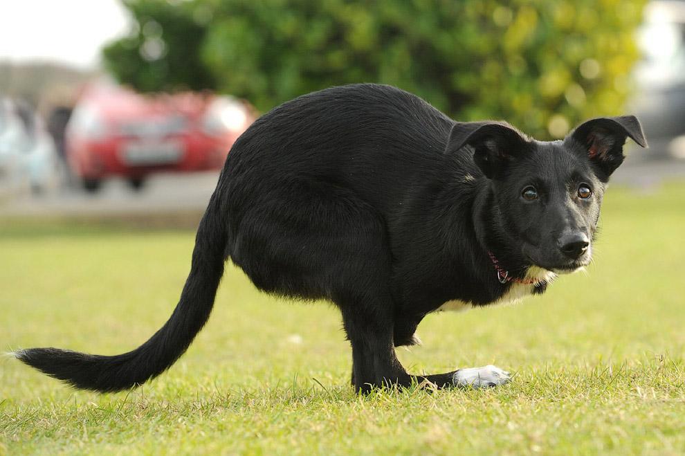Сейчас собака живет в английском графстве Нортумберлен и научилась прыгать на задних лапах как настоящий кенгуру