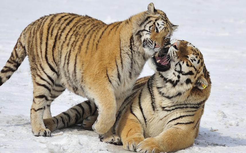 Тигриные нежности
