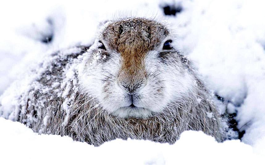 Шотландский заяц-беляк