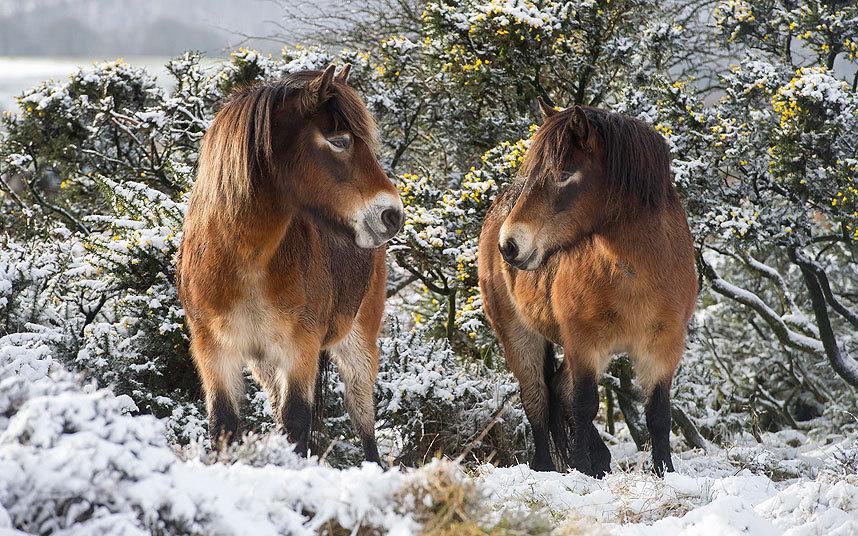 Пони в английском графстве Сомерсет