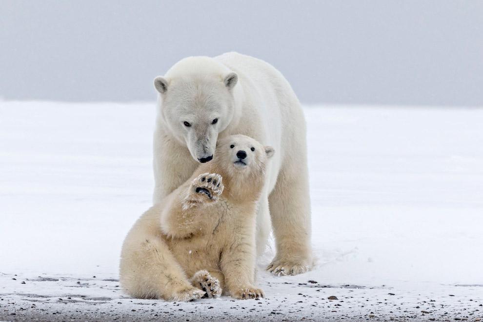 Белый медвежонок и мать на Аляске