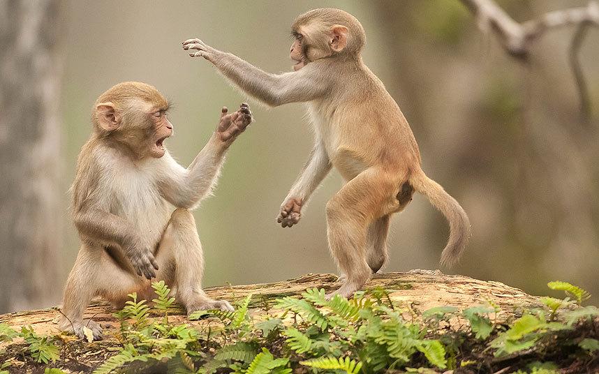 Дикие обезьяны во Флориде