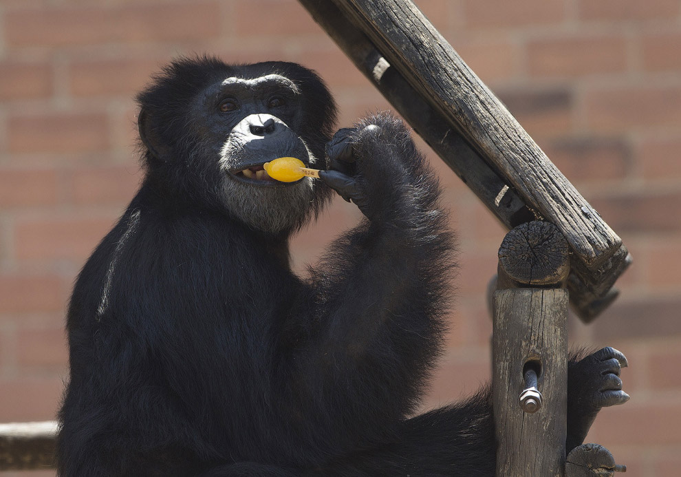 Шимпанзе в городском зоопарке в Рио-Жанейро, Бразилия
