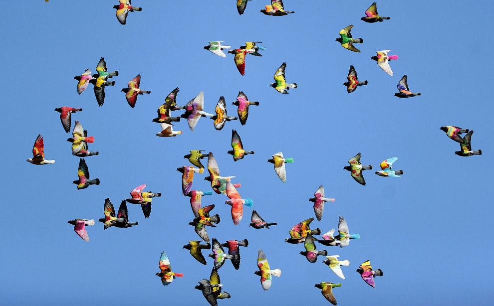 Стая разноцветных голубей
