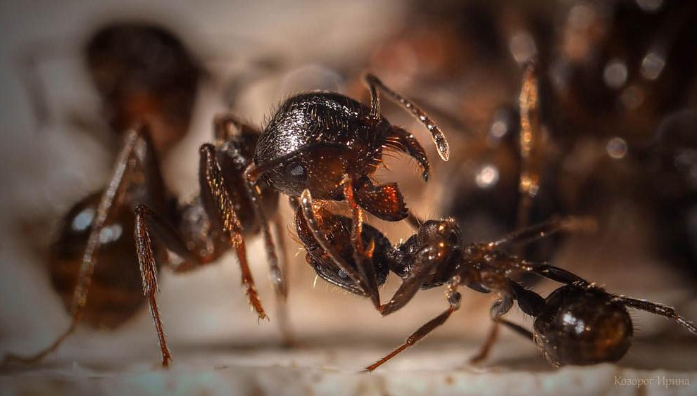 На языке муравья