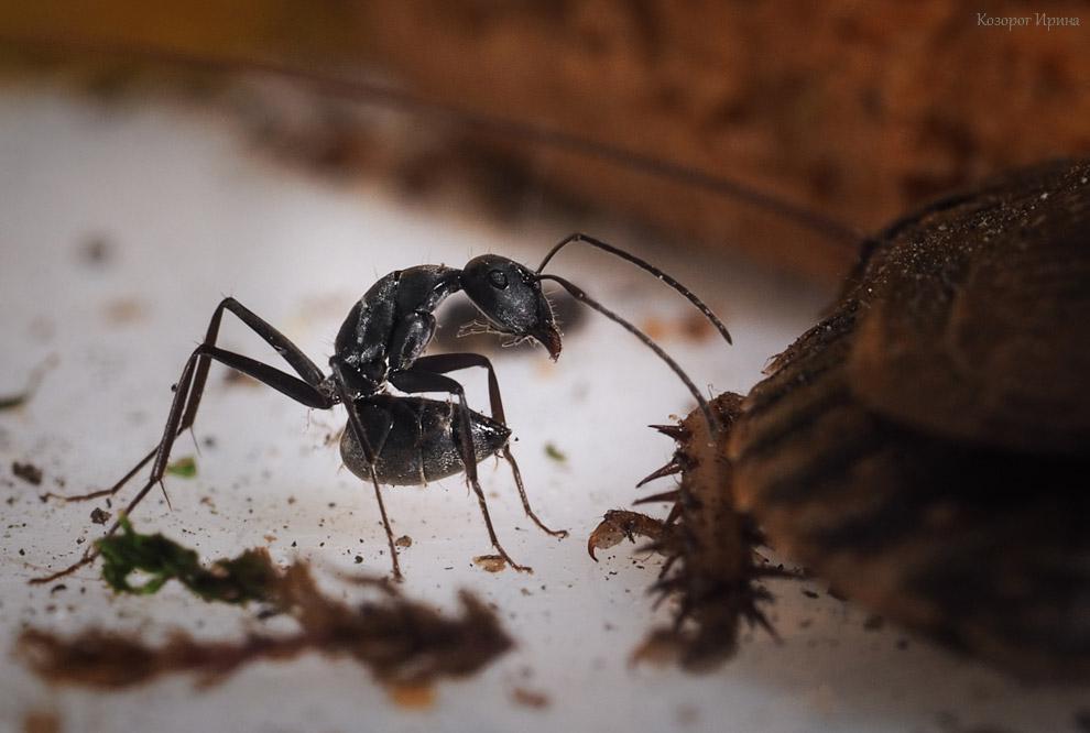 Боевая поза реактивного муравья