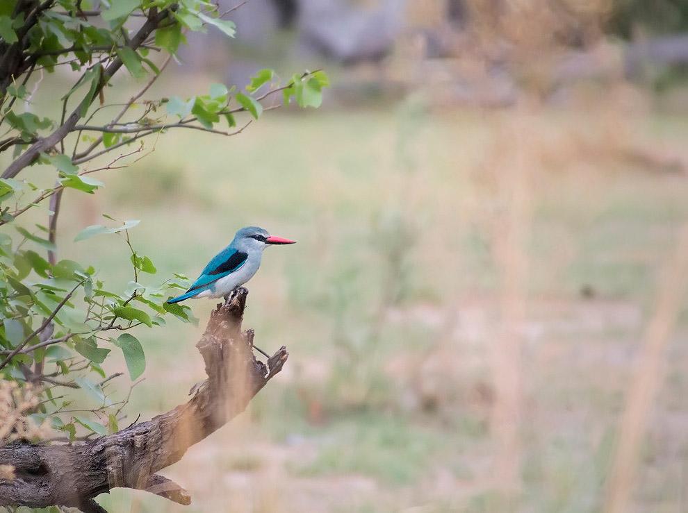 Лесной кингфешер (woodland kingfisher)