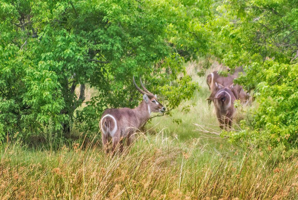 Водяные козлы (waterbok).