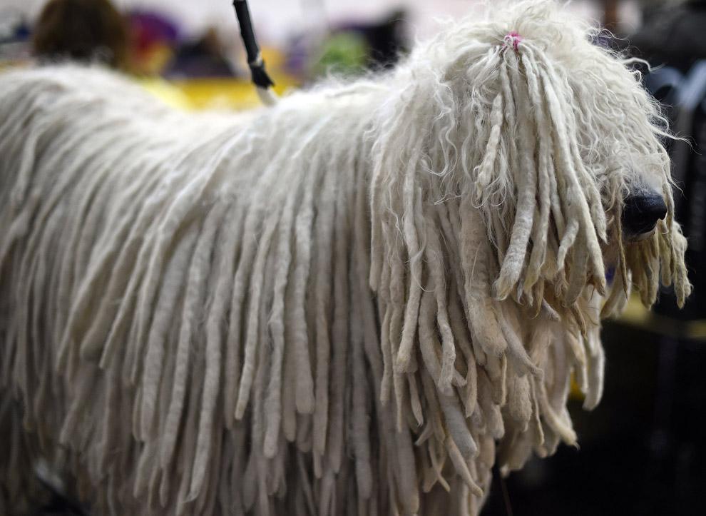 комондор или венгерская овчарка