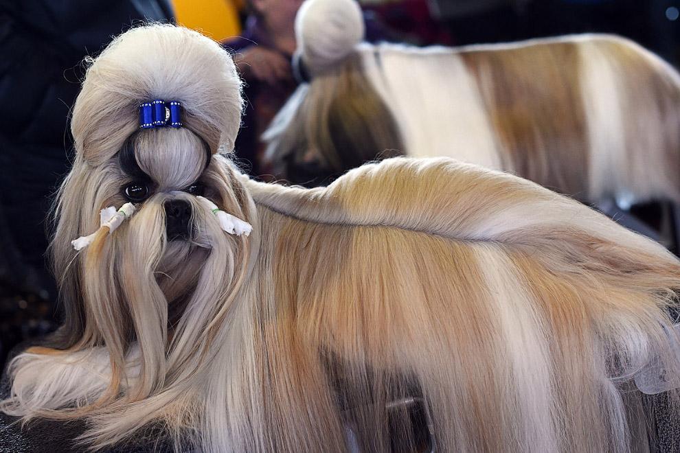 Ши-тцу или собака-лев