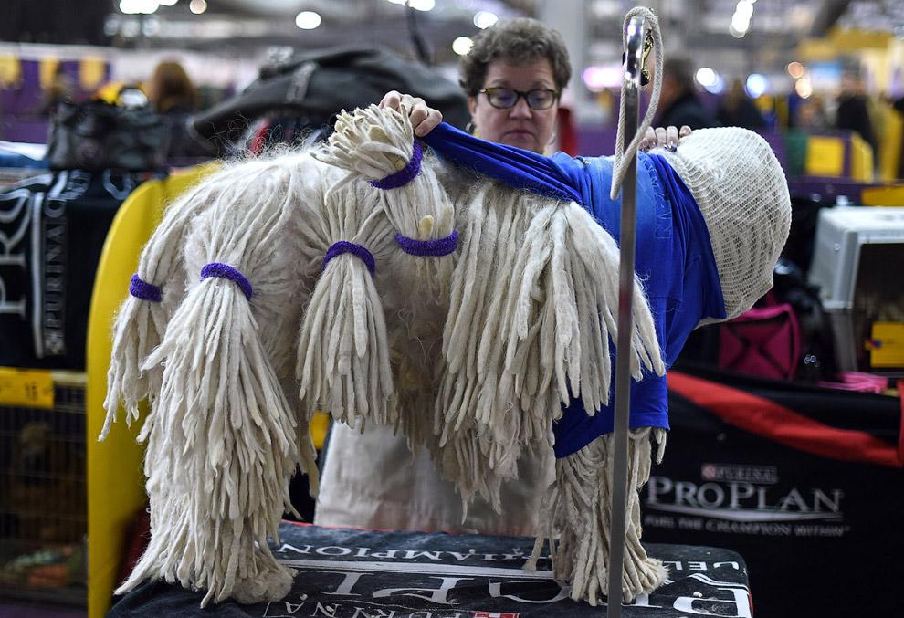 Невероятные приготовления к конкурсу комондора или венгерской овчарки