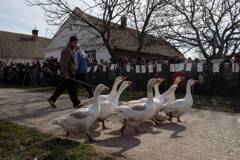 Гусиные бои в сербском селе Мокрин