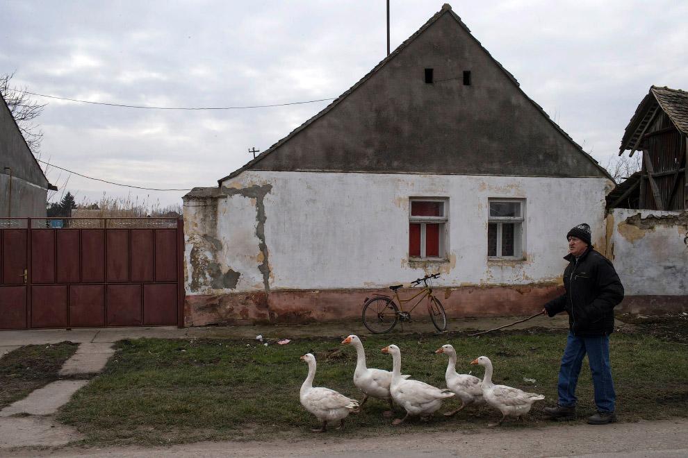 Гусиные бои в селе Мокрин