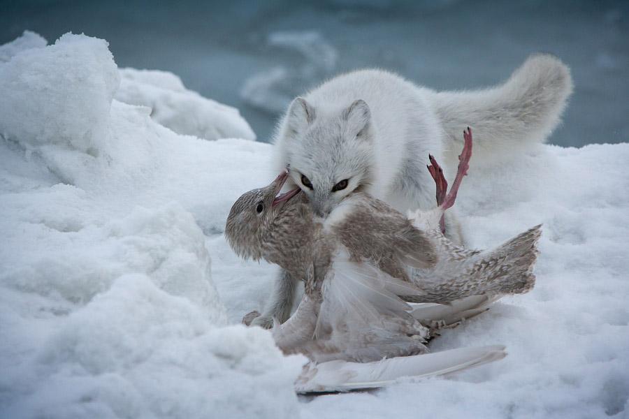 Суровые законы Арктики