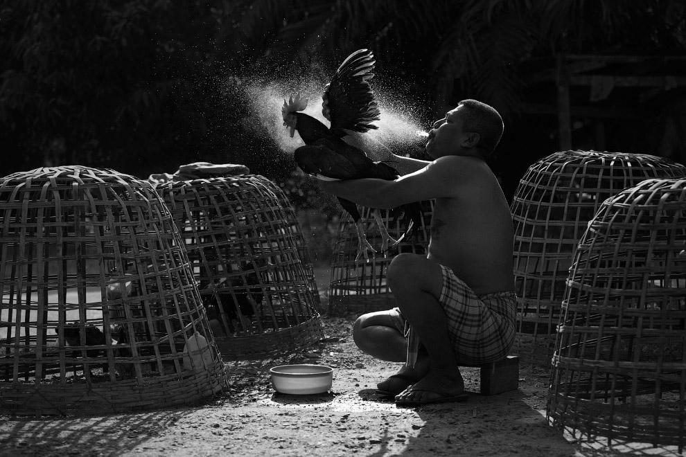 Бойцовый петух принимает ванну