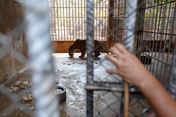 Часть времени большие и маленькие тигры находятся в клетках, которую приоткрывает волонтер