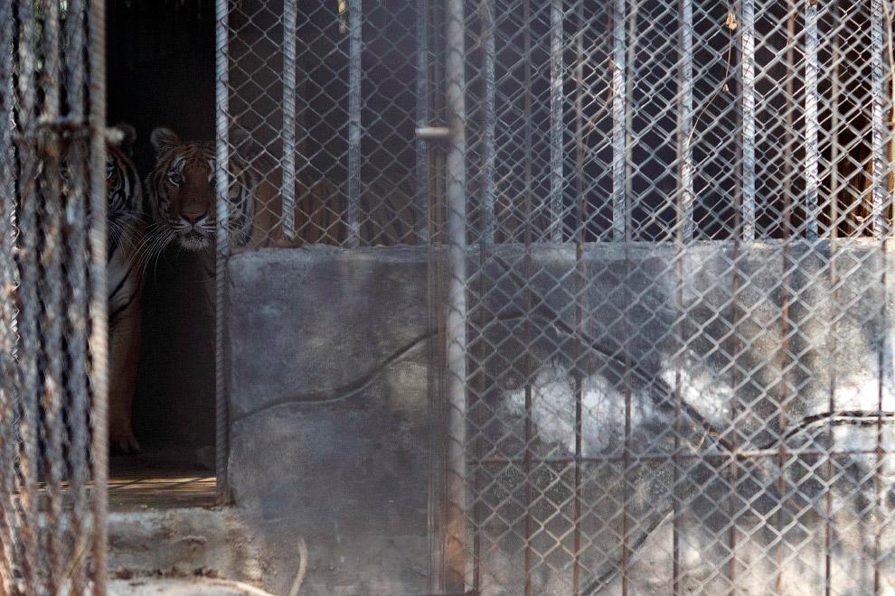 Тигры в клетках