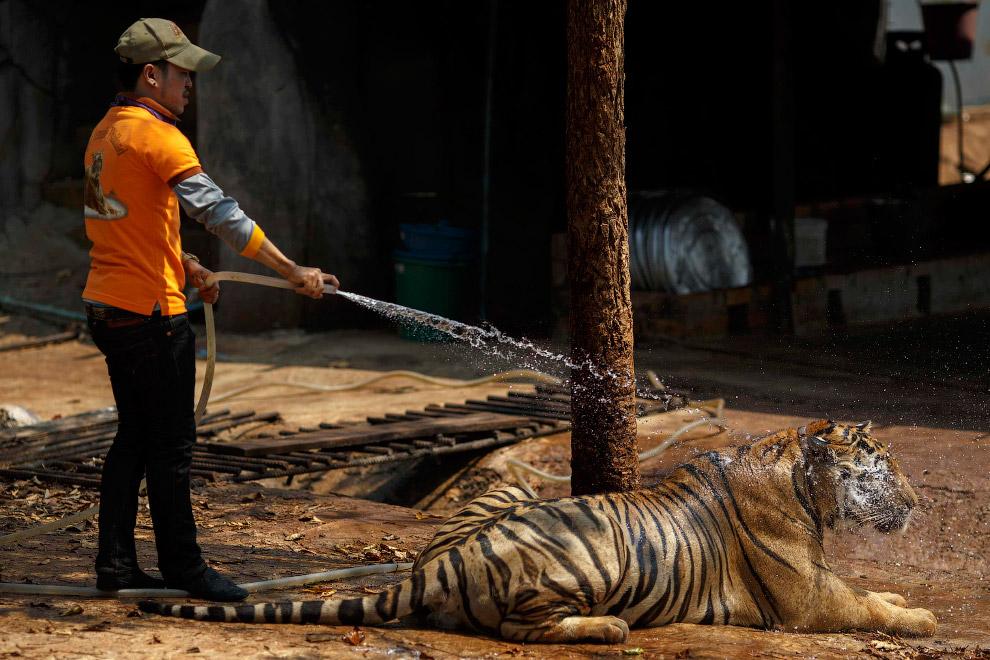 Волонтер обливает тигра водой