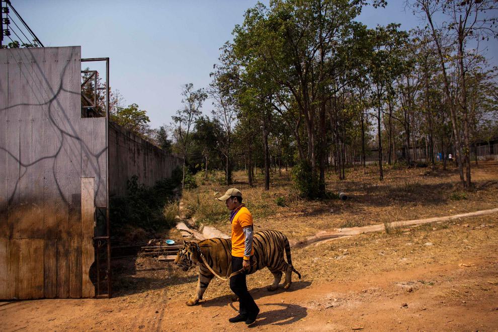 Волонтер выгуливает тигра на поводке