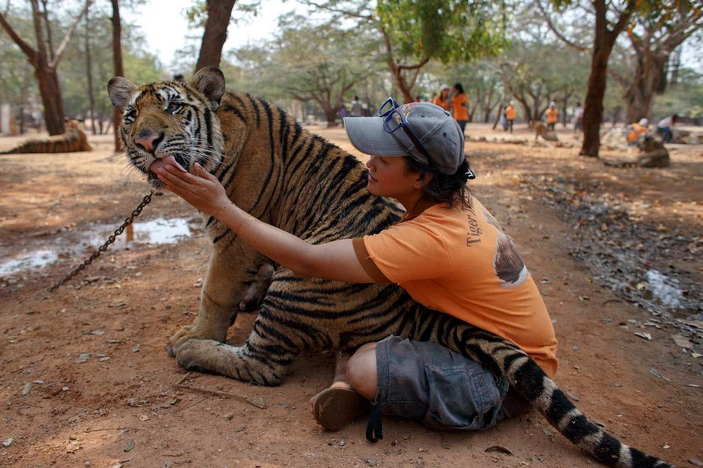 В природе тигры — властелины огромных территорий в несколько сот кв.км