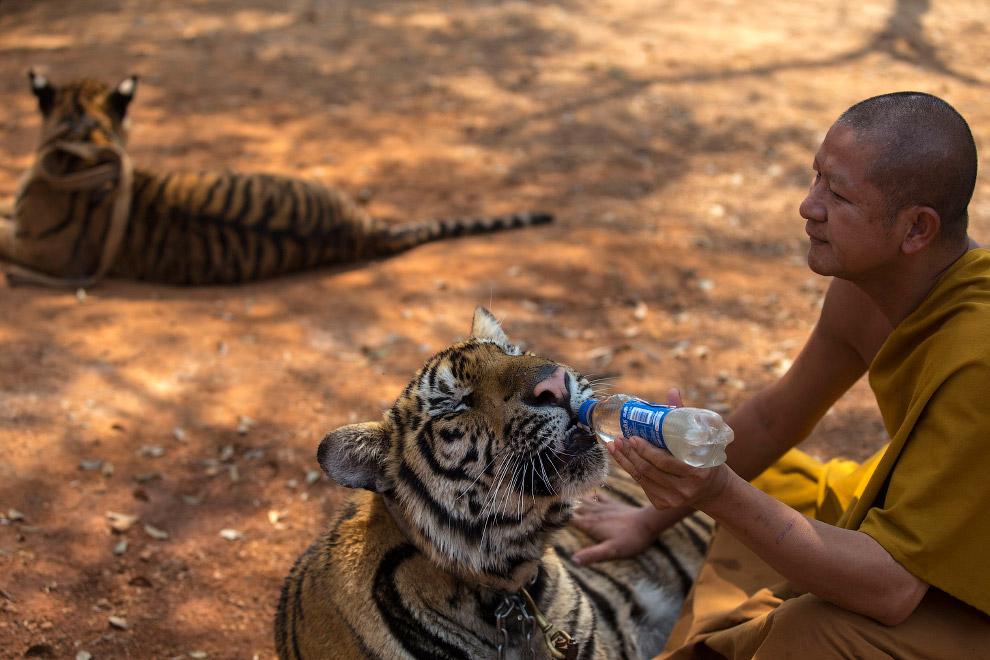 Монах и бенгальские тигры