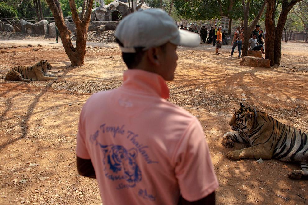 Тигры и волонтер. Вдали видны туристы
