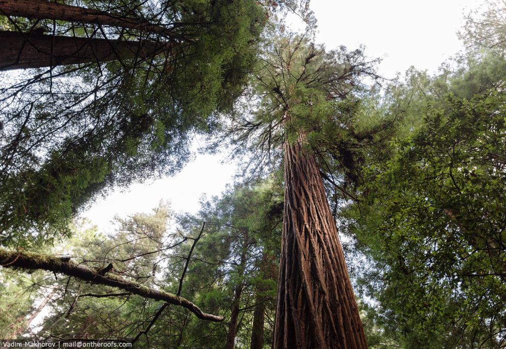 Лес Muir Woods