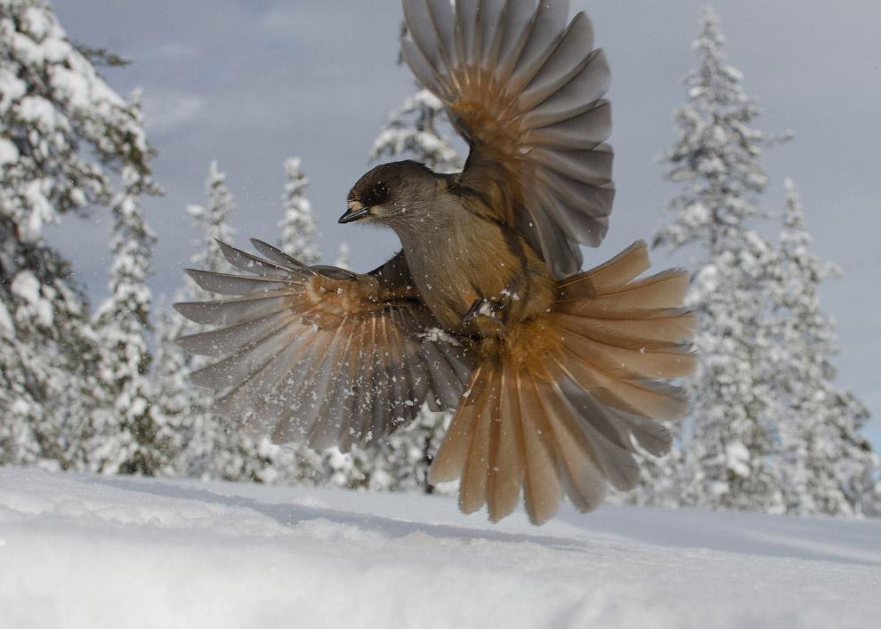 Сибирская сойка на севере Швеции