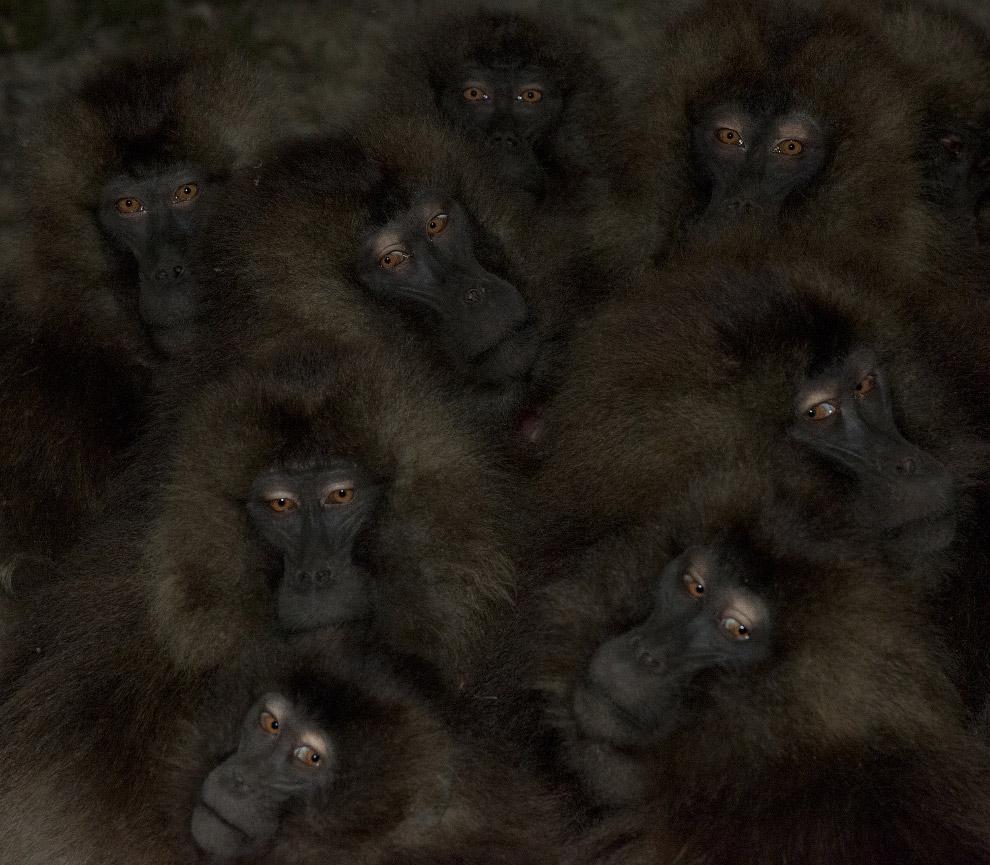 Высоко в горах Эфиопии фотограф встретил эту группу обезьян, которые прижимались друг к другу, чтобы согреться